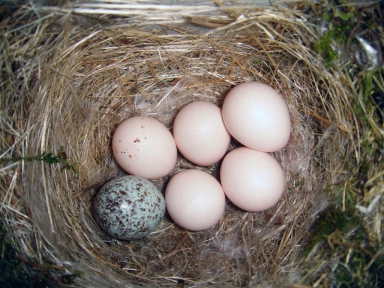 Spot the cowbird egg - credit wiki-user: Galawebdesign